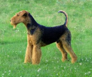 Airedale-terrier-charles14m