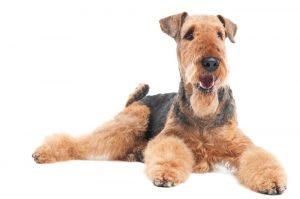 airedale-terrier-tigmavet