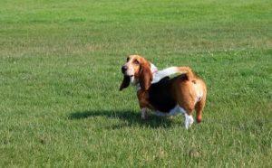 basset-hound-caine